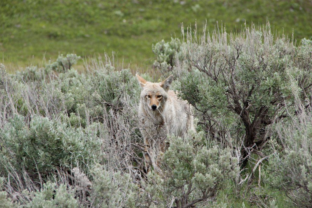 2020's Best Coyote Calls Reviews